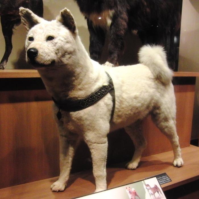 Hachi-ko in het
