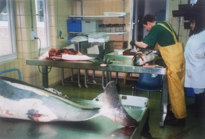 Sectie's op witflankdolfijnen (Lagenorhynchus acutus) en bruinvissen (Phocoena phocoena) bij het RIVO, IJmuiden, 27 maart 1997. In gele broek: drs Bram Couperus, in witte jas drs Marjan Addink