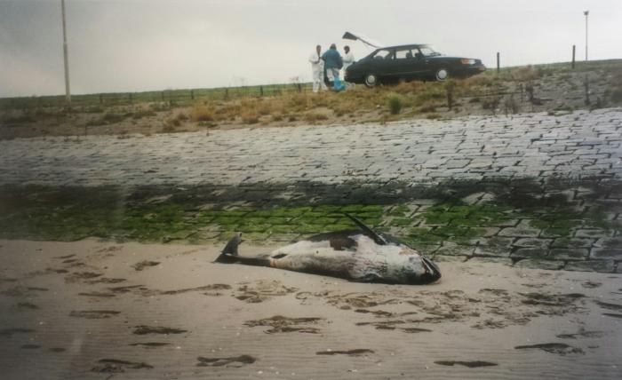 Sectie 'op het strand'. Volwassen vrouwelijke witsnuitdolfijn (Lagenorhunchus albirostris) Haven Braakman (Breskens) 01-0ktober 1998